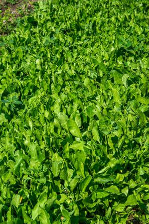 Fresh spinach in organic farm Stok Fotoğraf