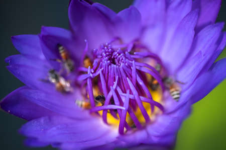 Bees takes nectar from the beautiful purple waterlily or lotus flower. Macro picture of bee and the flower. Stock Photo