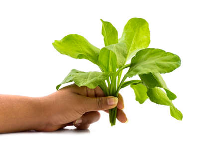 Close up of hand holding spinach at home on white background - Healthy Eating, Dieting, Vegetarian Food and People concept.