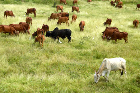 Cows and bulls are grazing on a lush grass field 免版税图像