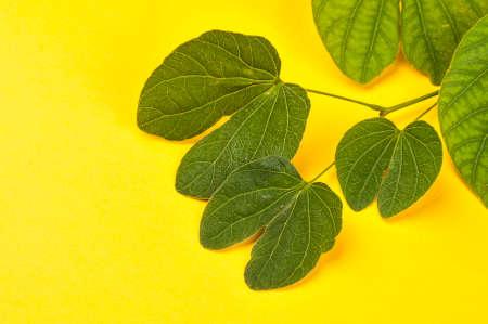 Indian Festival Dussehra, showing golden leaf (Piliostigma racemosum) on yellow background. Piliostigma racemosum. Greeting card.
