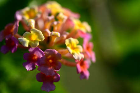 Multi- colored (Coloured) Lantana flowers. Beautiful Colorful Hedge Flower, Weeping Lantana,