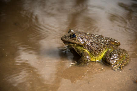 Frog in water or pond, close up 版權商用圖片