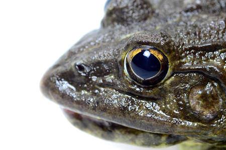 Primo piano di una rana su sfondo bianco