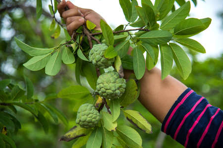 Young girl examine or observing at field of Custard apples or Sugar apples growing on a tree.