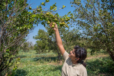 Young farmer girl holding and examining sweet oranges from trees in hands. Stok Fotoğraf
