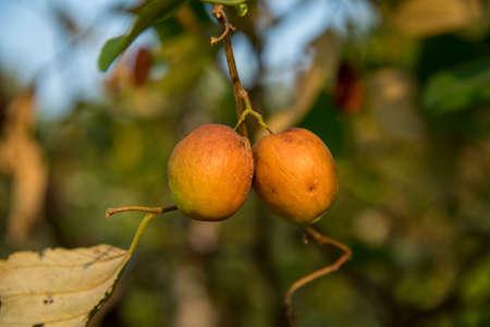 Indian Jujube or ber or berry (Ziziphus mauritiana) at farm field
