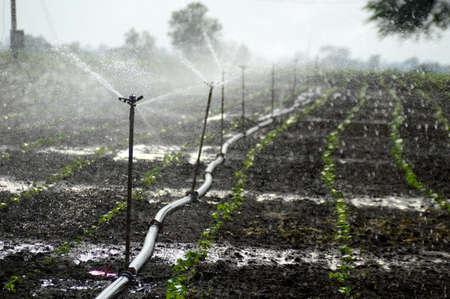 Sprinklers, Automatic Sprinkler irrigation system watering in the farm Stock fotó - 155450192