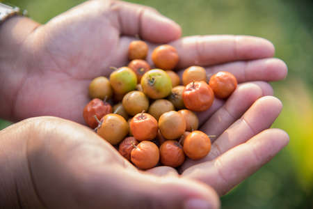 Indian Jujube or ber or berry (Ziziphus mauritiana) in hand at field