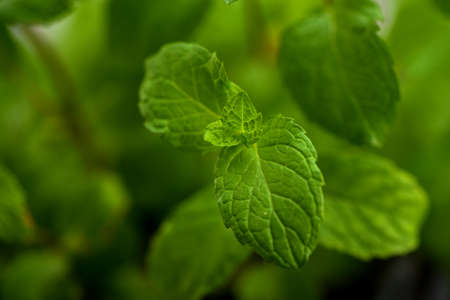 Close up of Fresh mint leaves on a stone texture background Stock fotó