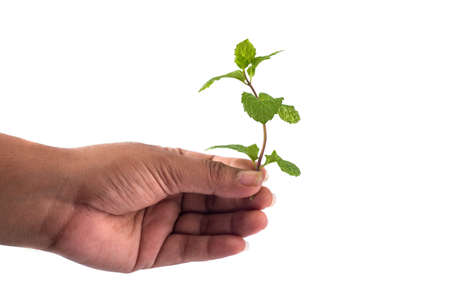 Fresh mint leaves in hand isolated on white background
