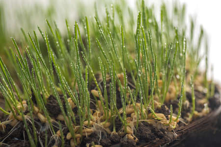 closeup of Young wheat seedlings or sprouts growing in soil.