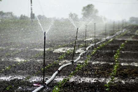 Sprinklers, Automatic Sprinkler irrigation system watering in the farm 版權商用圖片