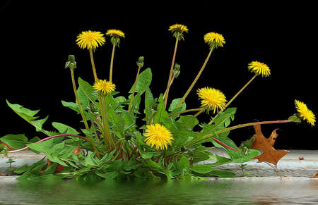 Dandelions growing in the space between the concrete road. Stock Photo