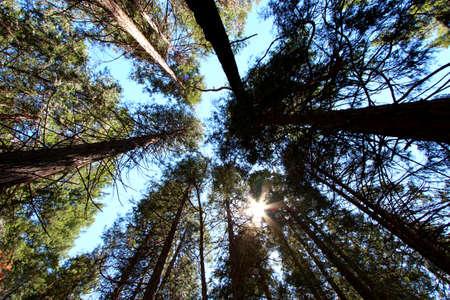 sequoia national park: Trees in Sequoia National park