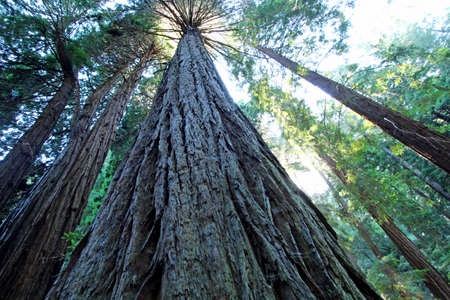 muir: A tree from down below in Muir Woods National Monument
