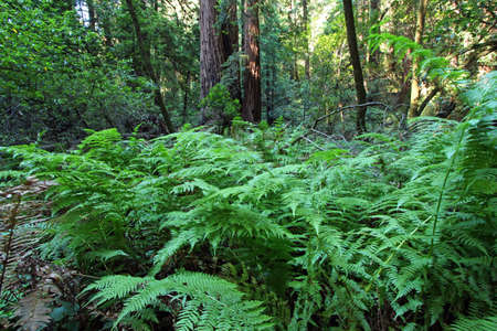 natural vegetation: Natural vegetation and ferns in the Muir woods National Monument