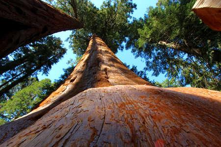 sequoia: Sequoia tree