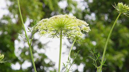 umbel: A close up of a white wild flower inflorescence Stock Photo