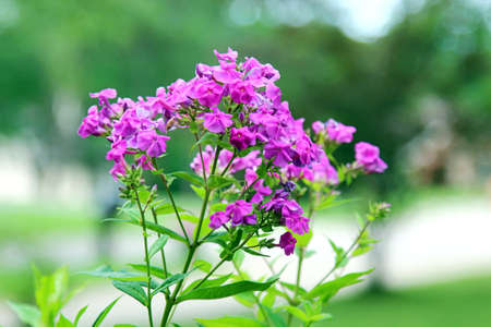 A bunch of pink Phlox flowers Stock Photo