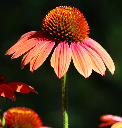 coneflowers: A close up of wet maroon Echinacea flowers Stock Photo