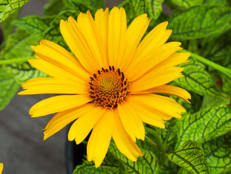 A close up of yellow Heliopsis helianthoides flower Stock Photo