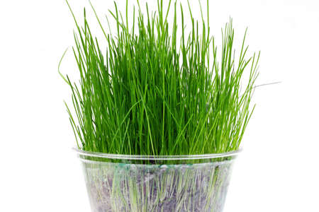 catnip: A pot with green grass on white background.
