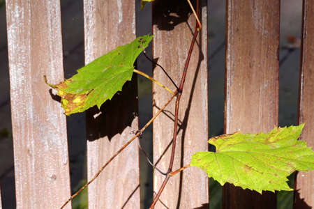 wooden railings: Green Grapes vine on wooden railings, selective focus. Stock Photo