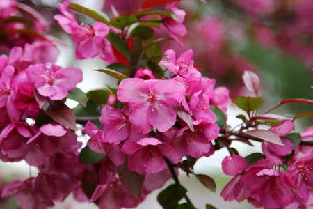 crab apple tree: Pink Crab apple flower in Spring season, selective focus