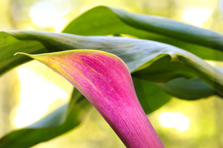 Close up of a pink Calla Lilly flower, selective focus. Stock Photo