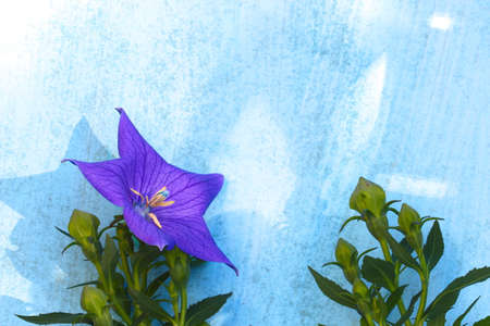 Balloon flower on a wooden blue background with copy space Stock Photo - 79726640