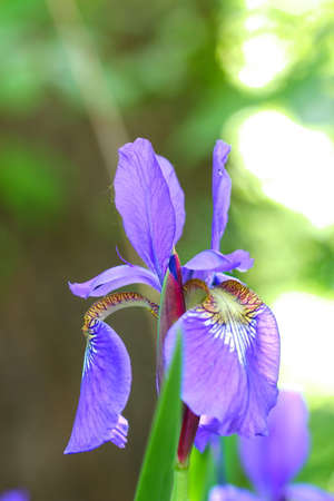 Purple Iris flowers on a green background, selective focus. Stock Photo - 79726656