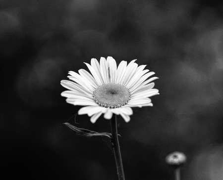 Daisy flowers in the summer season, selective focus Stock Photo - 79726652