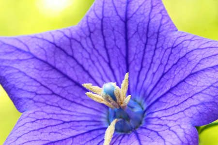 A close up of a beautiful blue Balloon flower or Platycodon grandiflorus