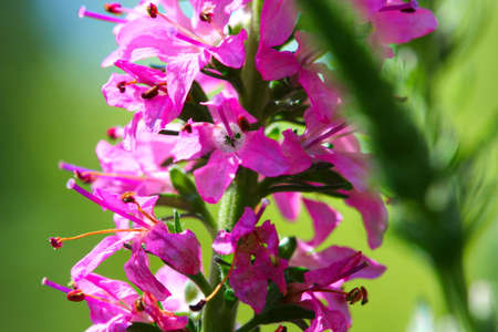 A close up of Spikes of pink Veronica flowers, selective focus Stock Photo - 79726664