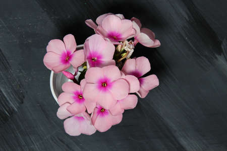 Pink Phlox flowers on grey wooden background