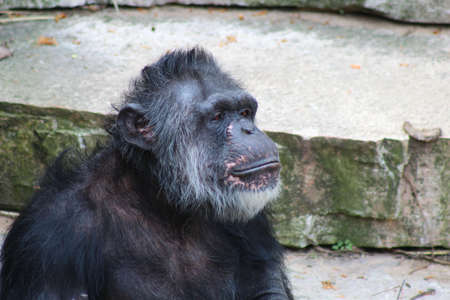 pan paniscus: A Chimpanzee resting in the open