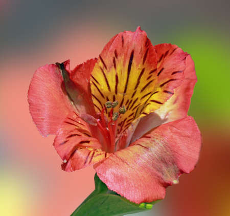 A close up of an orange Alstroemeria flower