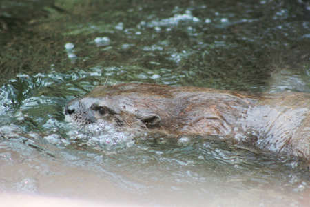 An Otter swimming in water
