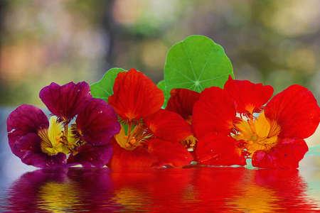 Three Nasturtium flowers in water.