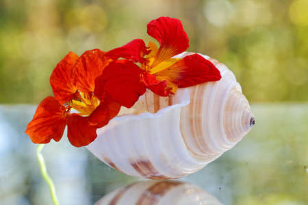 Nasturtium flowers with a sea shell Stock Photo