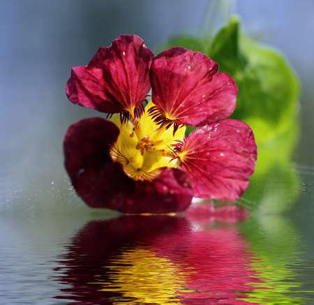 Nasturtium flower with reflection