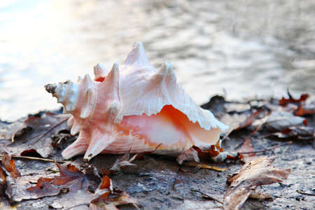 An animal shell or Conch near water on the shores.