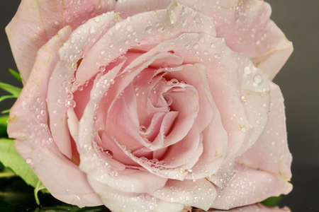 A close up of a pink Rose, selective focus. Stock Photo