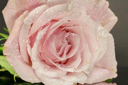A close up of a pink Rose, selective focus. Stock Photo