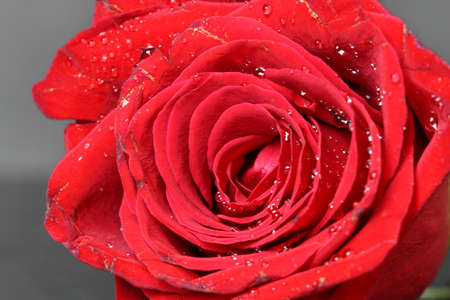 A close up of a red Rose, selective focus. Stock Photo