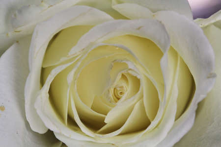 A close up of a white Rose.