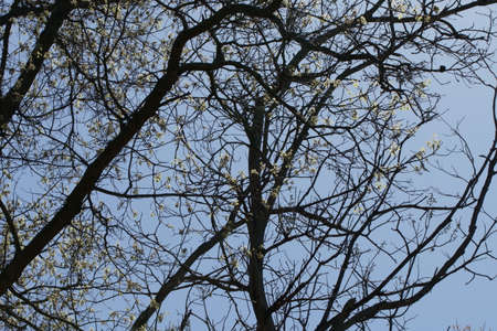 Branches of Oak tree with flowers against the blue sky. Stock Photo