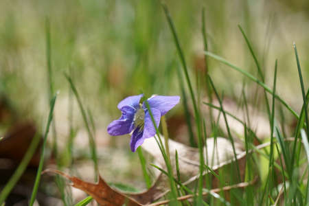 Wild purple and violet Viola flowers in grass.