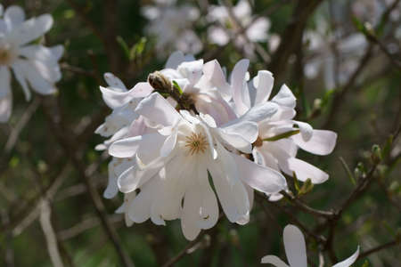 Close up of beautiful white Magnolia flower in Spring season.